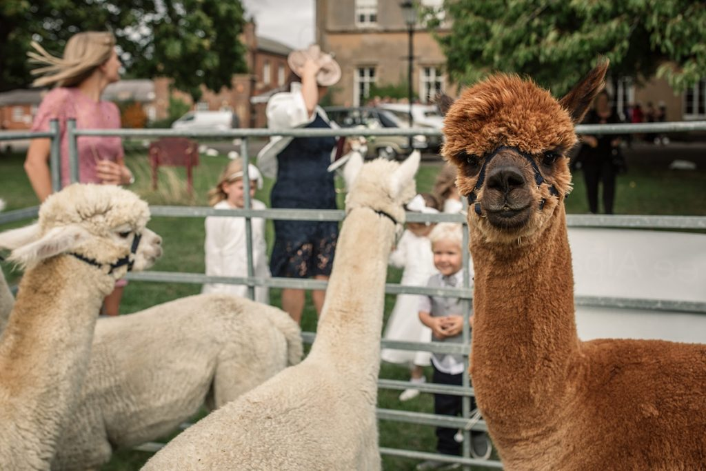 Alpacas at Offley Place Wedding, taken by Becky Harley Photography