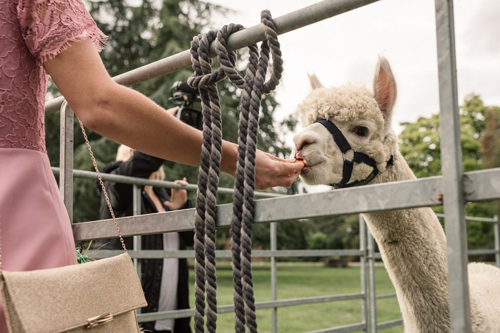 alpacas being fed at Offley Place Wedding, taken by Becky Harley Photography