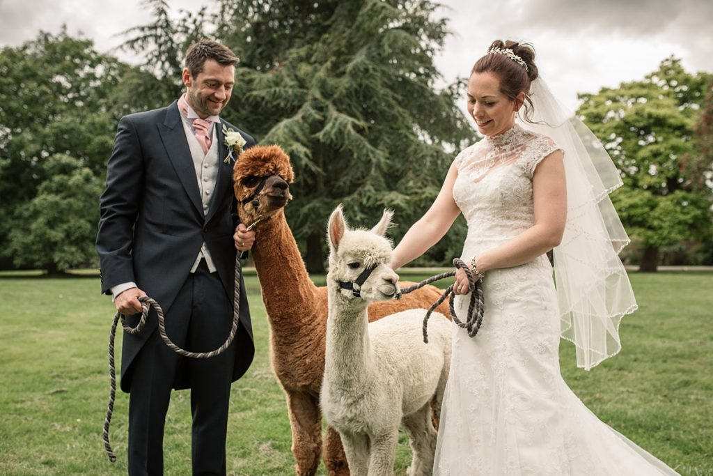Bride and groom walking alpacas at Offley Place Wedding, taken by Becky Harley Photography