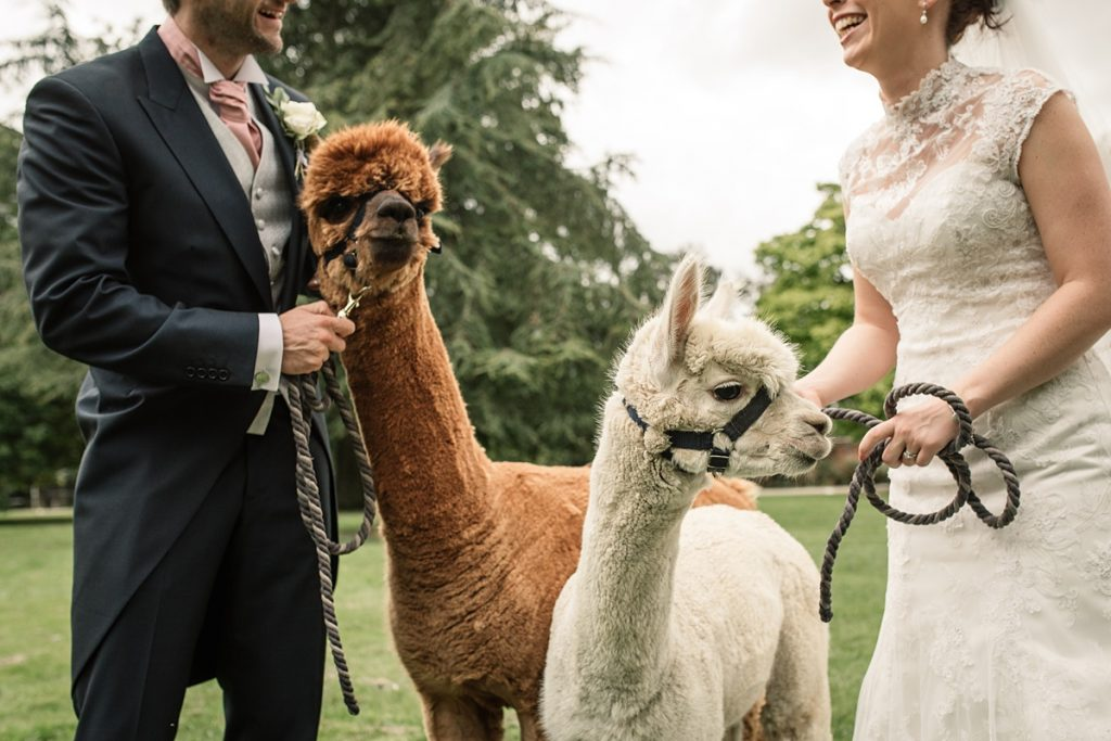 alpacas with bride and groom at Offley Place Wedding, taken by Becky Harley Photography