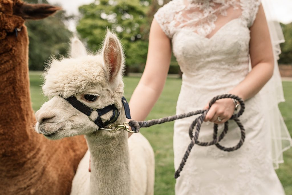 bride holding alpaca on a lead at Offley Place Wedding, taken by Becky Harley Photography