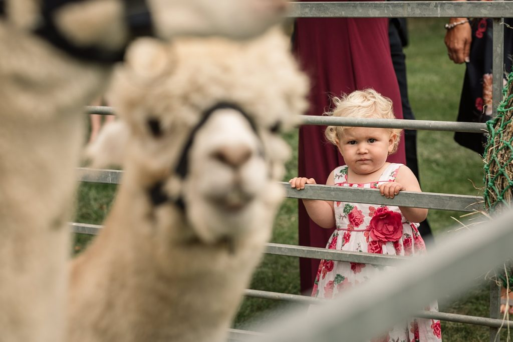 child watching alpaca at Offley Place Wedding, taken by Becky Harley Photography