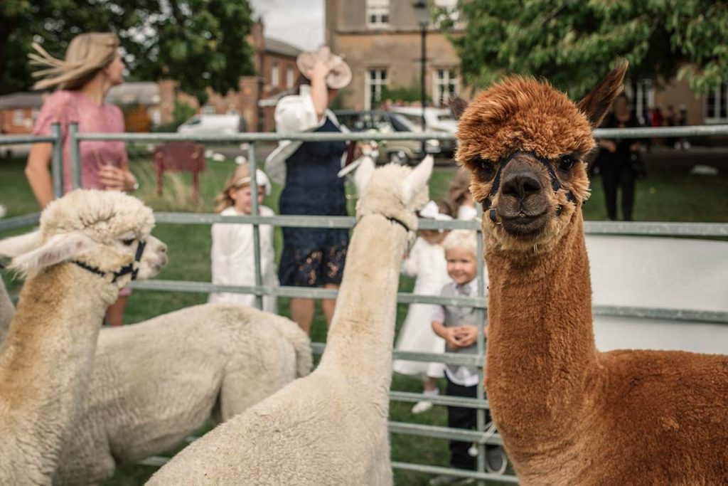 Alpacas at Offley Place taken by Becky Harley Photography